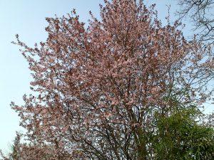 Allergie Baum Blüht